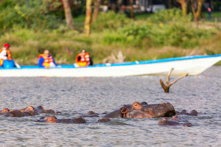 Hippopotamus in Lake Naivasha against boat with tourists. Tourism in Kenya