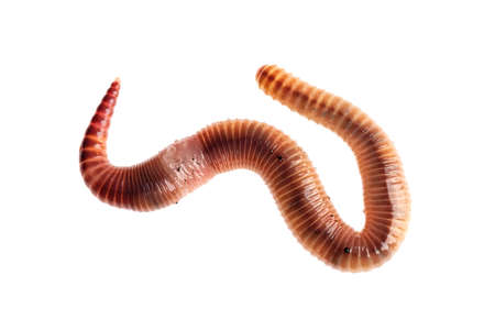 Macro shot of red worm Dendrobena, earthworm live bait for fishing isolated on white background