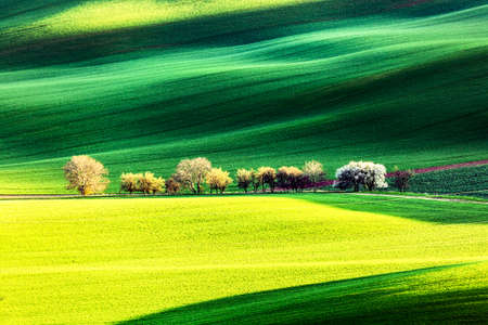 Spring rural nature landscape with blossoming flowering trees on green wavy rolling hills. Amazing sunset evening light. South Moravia, Czech Republic