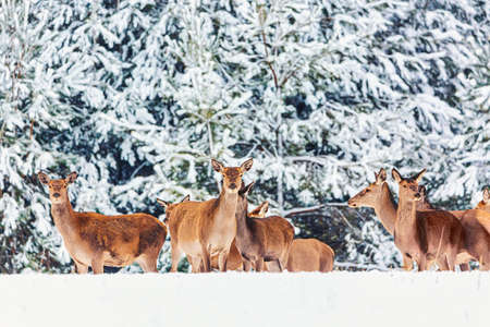 Winter wildlife landscape with young noble deers group against winter forest