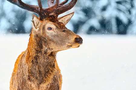 Close up portrait of noble deer against winter forest with snow in Rovaniemi, Lapland, Finland. Christmas winter image. Zdjęcie Seryjne