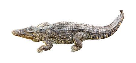 Cuban crocodile Crocodylus Rhombifer isolated on white background. Imagens