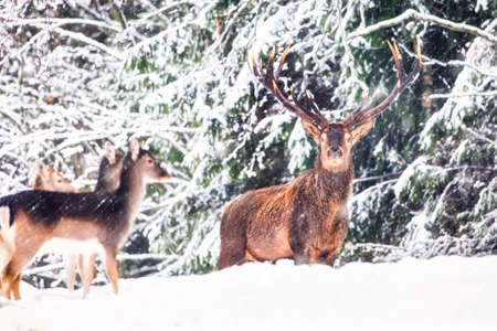 Deer with large Horns with snow looking at camera during snowfall. Winter wildlife Christmas landscape with noble deers in natural habitat Archivio Fotografico