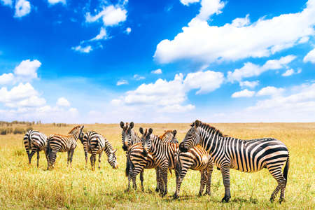 Herd of zebras on the african savannah in Serengeti National Park against blue sky with clouds. Wild nature landscape. Tanzania, Africa. Safari concept.