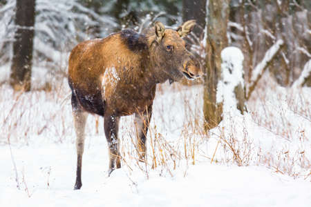 Female moose in the forest with snow near Kostroma, Russia. Winter animal landscape.