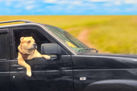Familty travel concept. Cute dog looks out of the black car on a field road.