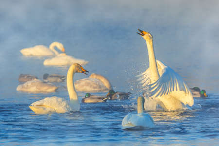 Beautiful group of swans and ducks on a winter lake in the morning. Altai, Siberia, Russia