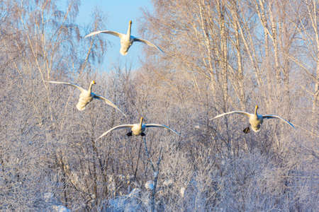 White beautiful whooper swans flying against winter forest. Altai, Russia.