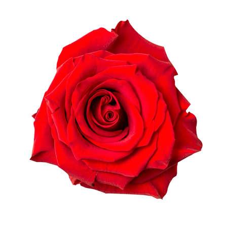 Beautiful red rose bud isolated on white background. Imagens