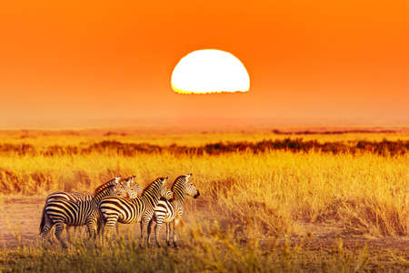 Zebra group with amazing sunset in african savannah. Serengeti National Park, Tanzania. Wild nature african landscape and safari concept. Фото со стока