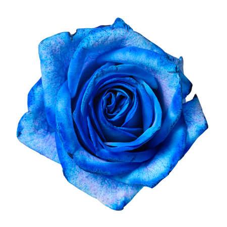Beautiful blue rose bud isolated on white background.