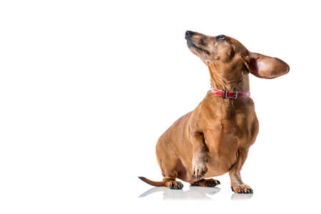 Brown Dachshund dog portrait isolated over white background.
