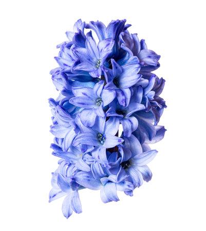 Blue hyacinthus flower bud closeup isolated on white background.
