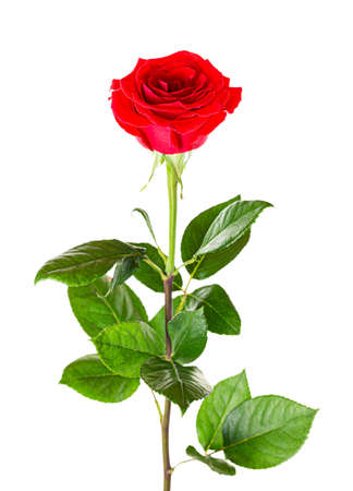 Beautiful red rose with long stem isolated on white background.
