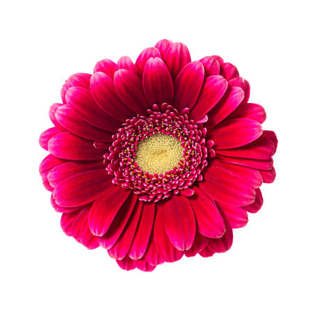 Beautiful pink red gerbera flower isolated on white background.