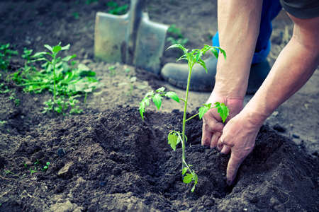 Male hands planting the tomato seedling into the soil in greenhouse farm. Agriculture and gardening concept Archivio Fotografico
