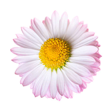 Beautiful pink daisy flower bud isolated on white background.