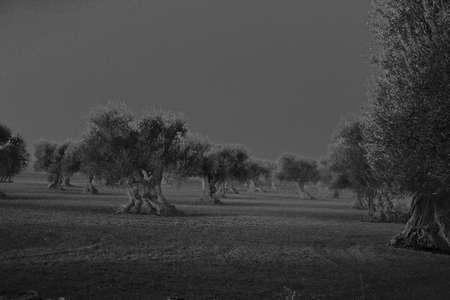 plantation of ancient olive trees