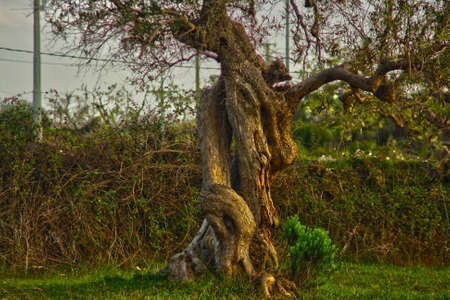 ancient olive tree with twisted trunk Archivio Fotografico