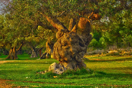 centenarian olive tree twisted