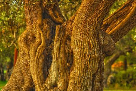 centenary olive branch Archivio Fotografico
