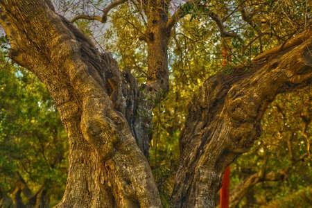 secular olive tree trunk in Puglia