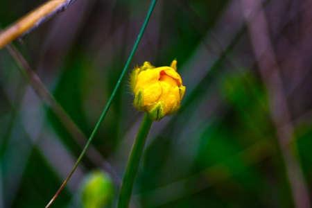タンポポの花はまだ咲いていない