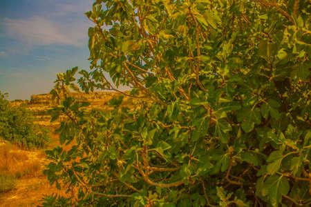 old wild fig tree in Puglia