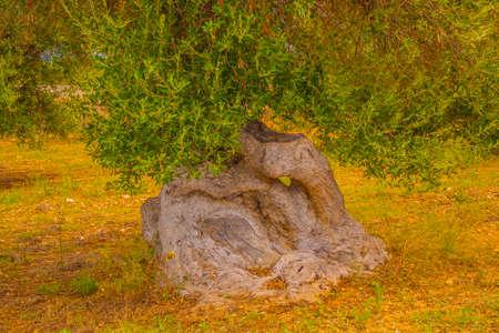 secular olive tree of Salento Archivio Fotografico