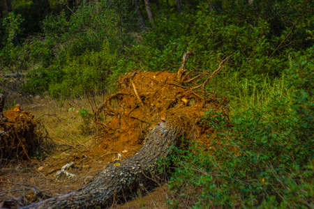 pine tree uprooted after the storm Stock Photo