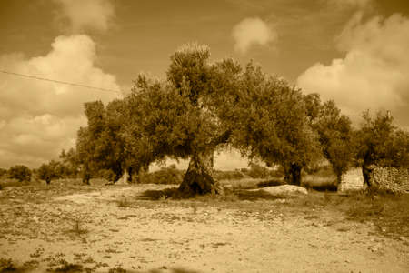 centenary olive grove view background. Stock fotó