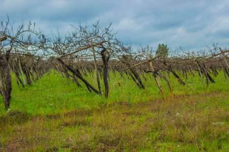old vineyard in a state of neglect