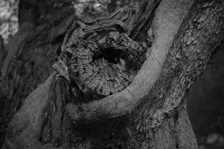 secular olive trunk