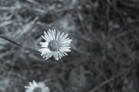 little daisy 版權商用圖片