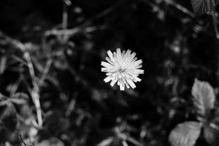 dandelion flower 版權商用圖片
