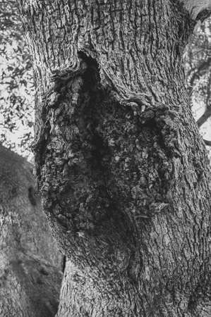 secular olive trunk background.