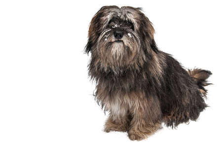 exempted: longhaired dog with snow in the face (exempted on white background) Stock Photo