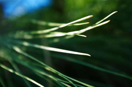 hojas: Hojas de pino de cerca vistas en un angulo un poco de lado Stock Photo