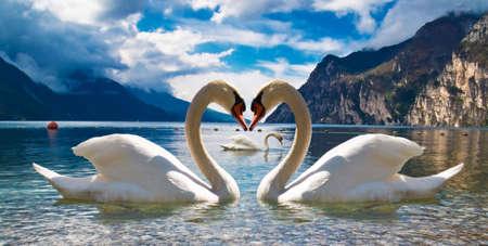 Swan paradise Stock Photo - 5495124