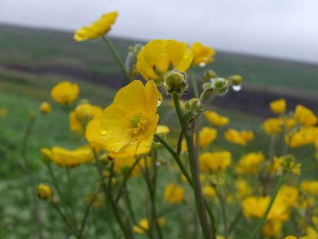 buttercups: Dewdrop Buttercups