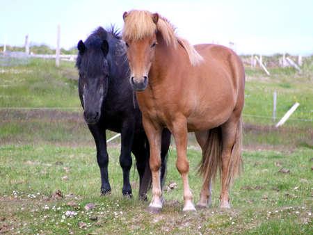 Rugged Ponies
