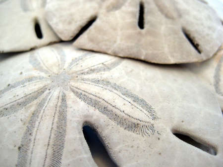 sand dollar: Mont�n de arena d�lar Foto de archivo