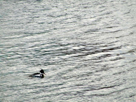 water fowl: Lone Duck
