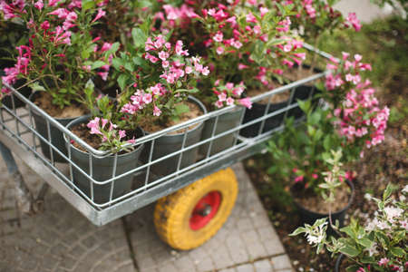 Close up photo of beautiful pink flowers in little garden cart outdoor.