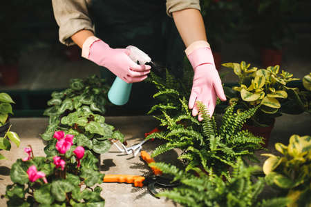 Close up photo of florist hands in pink gloves spraying plants in greenhouse. Imagens