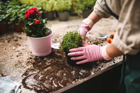 Close up woman hands in pink gloves planting flowers in pots in greenhouse. 版權商用圖片