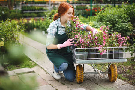 Young beautiful florist in apron and pink gloves dreamily working with flowers in garden cart in greenhouse.