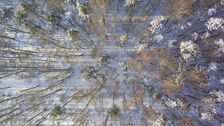 Winter forest trees sunny weather top view. Aerial flight above snow cover wild woods with sun light shining beams, bird eye perspective. Abstract snow forest background