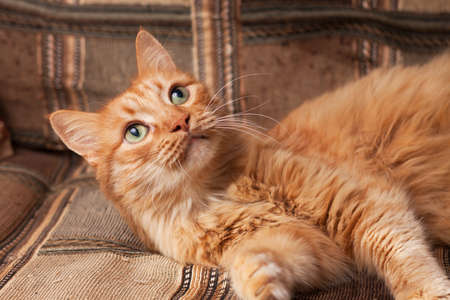 red-haired playful cat lying on the sofa Stock Photo - 17541170