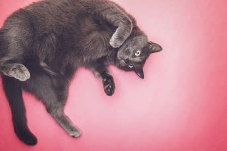 interst: grey funny cat posing on the pink background Stock Photo